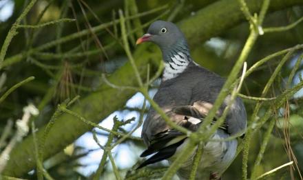 Pigeon ramier © Didier Collin