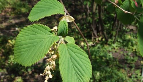 Corylopsis - Corylopsis sinensis var. sinensis © Creative Commons - Jerzy Opiola