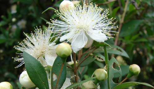 Myrte - Myrtus communis © CC BY 3.0 - Forest & Kim Starr