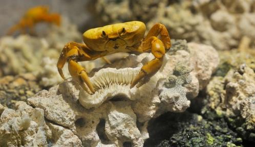 Crabe de Clipperton (Gecarcinus (Johngarthia) planatus) © MNHN - FG Grandin