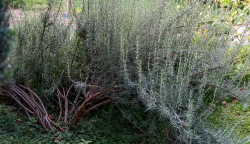 Romarin jardin des plantes © MNHN