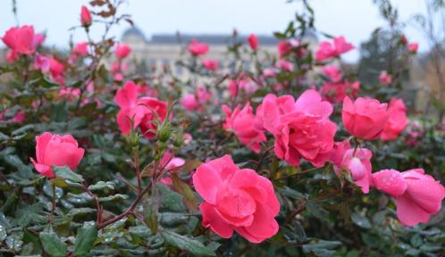 Rose Knock Out au Jardin des Plantes © MNHN - Jérôme Munier