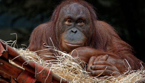 Tamü, orang-outan de Bornéo © MNHN - F.-G. Grandin