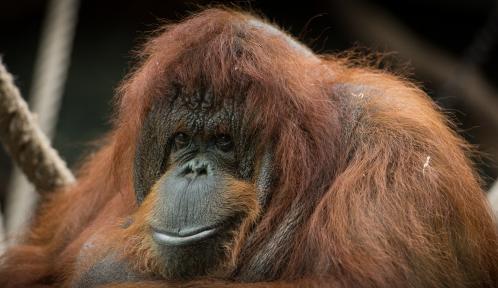 Nénette - Femelle orang-outan © MNHN - F-G. Grandin