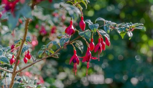 Fuchsia © MNHN - Bruno Jay