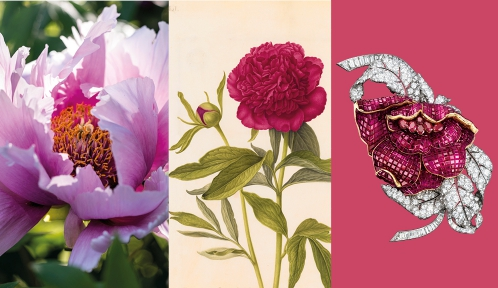 Calendrier floral - Mai : les pivoines © MNHN / Collection Van Cleef & Arpels