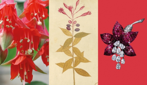 Calendrier floral - Octobre : les fuchsias © MNHN / Collection Van Cleef & Arpels