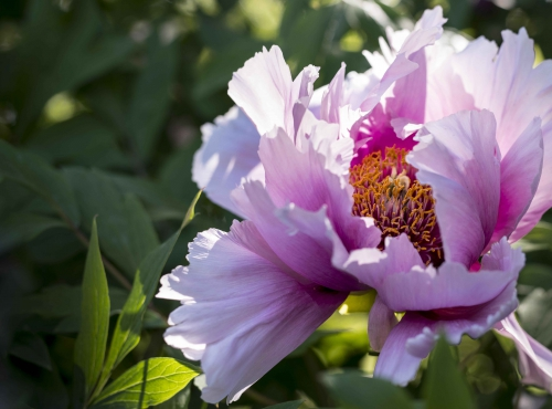 Pivoine arbustive © MNHN