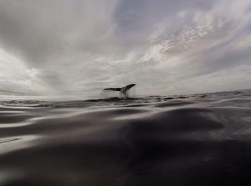 La réponse de la baleine à bosse © Alex Voyer