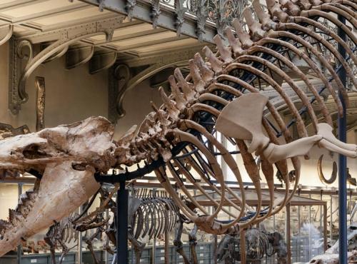 Archéocète Cynthiacetus peruvianus - Galerie de Paléontogie © MNHN - Bernard Faye