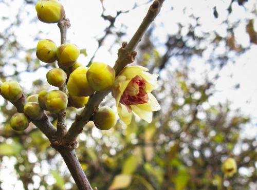 Chimonanthe précoce © MNHN - Michel Morin