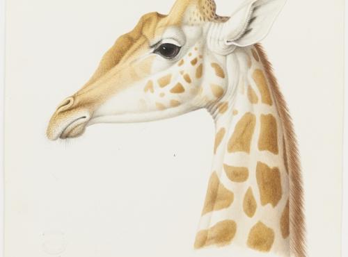 La girafe Zarafa © MNHN, dist. RMN / Tony Querrec