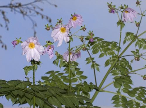 Dahlia arborescent © MNHN – Patrick Lafaite
