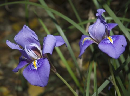 Iris d'Alger - Iris unguicularis © MNHN