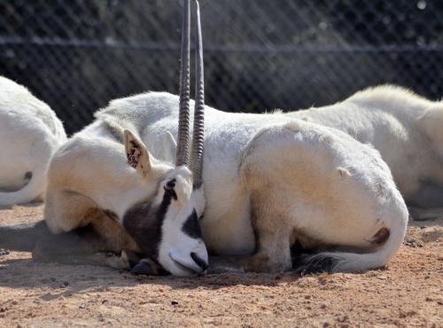 Oryx d'Arabie (Oryx leucoryx) © MNHN - Jérôme Munier