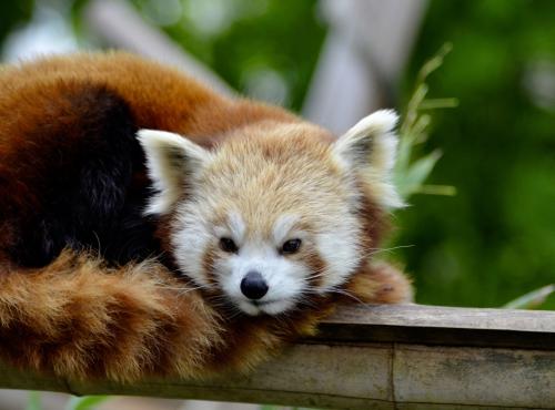 Panda roux (Ailurus fulgens) © MNHN - Jérôme Munier