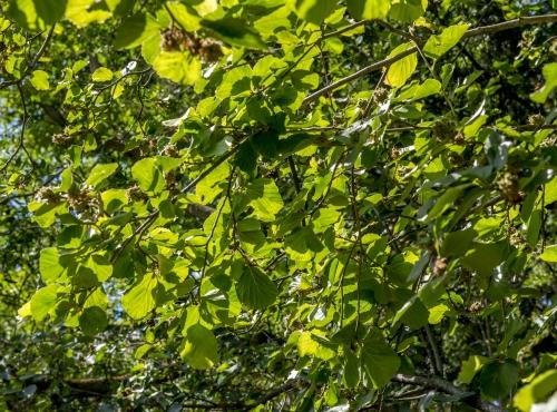 Parrotiopsis © MNHN – Bruno Jay