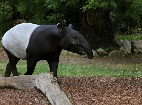 Tapir malais © MNHN - Emmanuel Baril