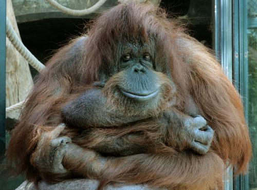 Nénette - Femelle orang-outan © E. Baril