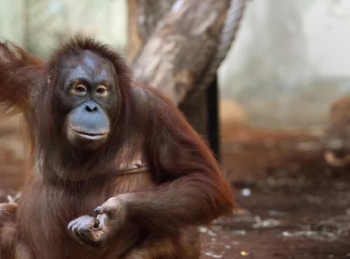 Tamü - Femelle orang-outan © F.-G. Grandin