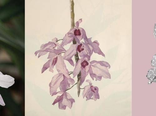 Calendrier floral - Février au Jardin : les orchidées - Bandeau © MNHN / Collection Van Cleef & Arpels