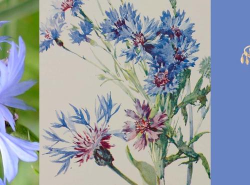Calendrier floral – Juillet : le bleuet © MNHN / Collection Van Cleef & Arpels