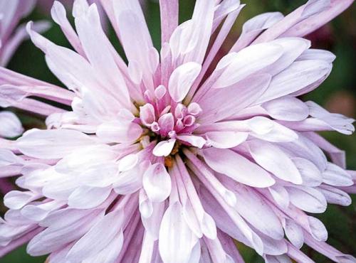 Calendrier floral - Novembre : les chrysanthèmes © MNHN / Collection Van Cleef & Arpels