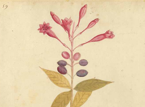 Calendrier floral - Octobre : les fuchsias © MNHN / Collection Van Cleef & Arpels