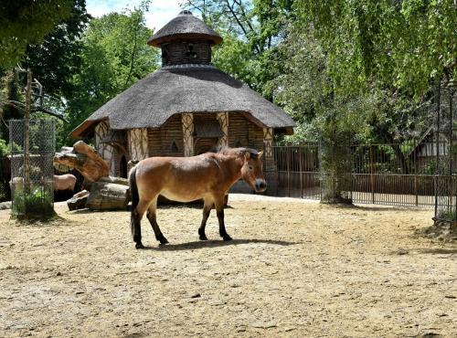 Cheval de Przewalski à la Ménagerie, le zoo du Jardin des Plantes © MNHN – J. Munier