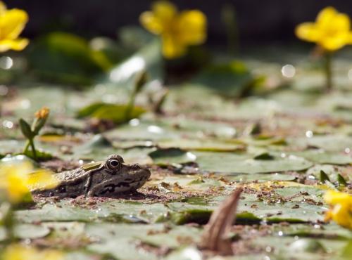 Grenouille au Jardin des Plantes © MNHN - Patrick Lafaite