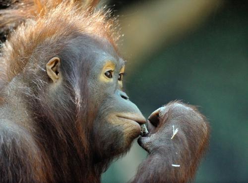 Tamü - Femelle orang-outan © MNHN - F-G. Grandin