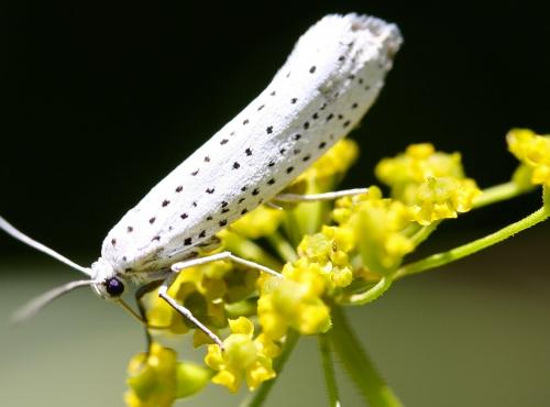 Yponomeuta evonymella - Creative commons