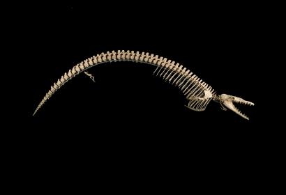 <em>Cynthiacetus peruvianus</em> (Mammalia, Cetacea). Provenance : Formation Otuma, Pérou © MNHN - Bernard Faye