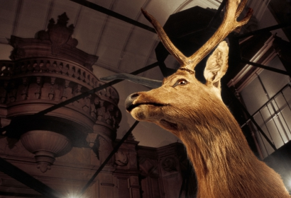 Le cerf de Shomburgk © MNHN - L. Bessol