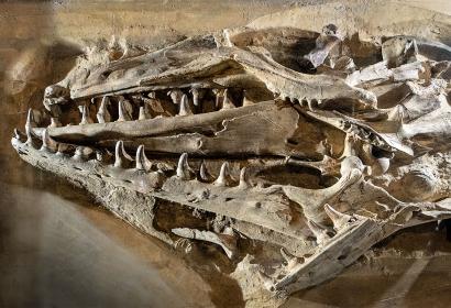 Mosasaure de Maastricht de Cuvier - Muséum national d'Histoire naturelle
