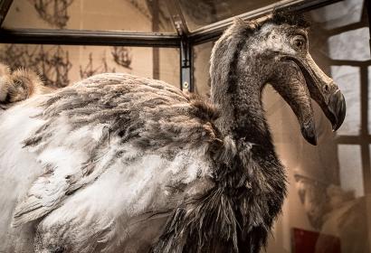 Reconstitution du dodo dans la Grande Galerie de l'Évolution