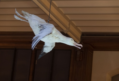 Albatros hurleur dans la Grande Galerie de l'Évolution
