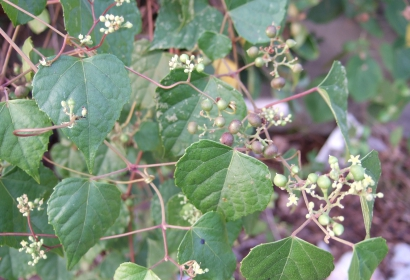 Vigne vierge à fruits bleus - Ampelopsis brevipedunculata © Creative Commons - Albert