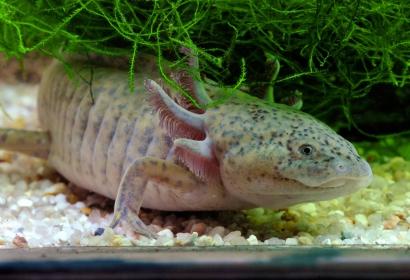 Axolotl (Ambystoma mexicanum) © MNHN - FG Grandin