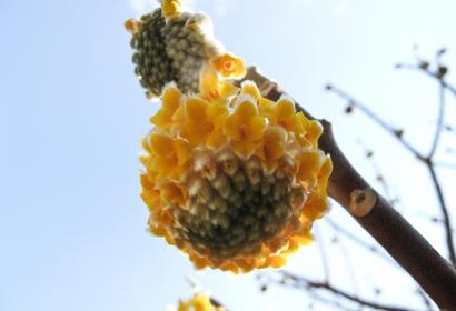 Edgeworthie à fleurs d'or © MNHN – Laurent Ballot