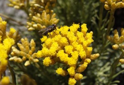 Immortelle d'Italie - Helichrysum italicum spp serotinum (plant de Curry) © Drow male - CC-BY-SA-4.0,3.0,2.5,2.0,1.0