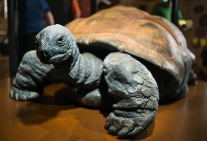Kiki, tortue géante des Seychelles © MNHN - Bernard Faye