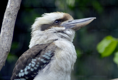 Kookaburra © MNHN - Jérôme Munier