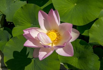 Lotus d'Orient © MNHN – Bruno Jay