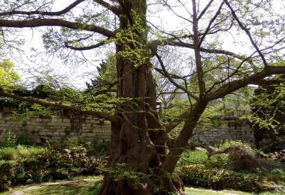 Métasequoia - Metasequoia glyptostroboides - Taxodiaceae - Chine (Arbre Historique) © MNHN - Michel Flandrin