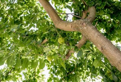 Oranger des Osages © MNHN – Bruno Jay