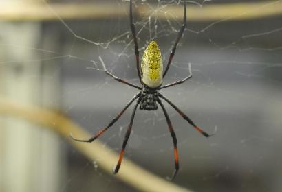 Néphile du Sénégal (Nephila senegalensis) © MNHN - FG Grandin