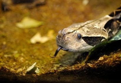 Vipère du Gabon (Bitis rhinoceros) © MNHN - FG Grandin