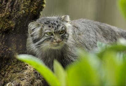 Chat de Pallas (Otocolobus manul) © MNHN - FG Grandin