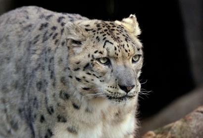 Panthère des neiges (Panthera uncia) © MNHN - Jérôme Munier